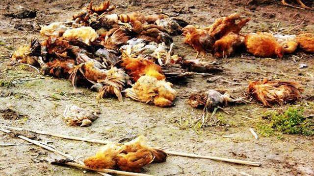 养殖场病死的鸡,最后都去了哪里?