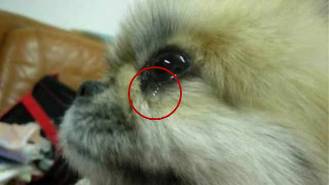 为什么狗狗会像人类一样流眼泪?