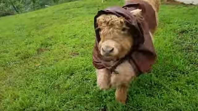 呆萌小牛以为自己是狗,开心得很