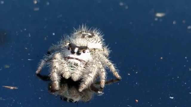 萌到犯规!现实版激萌蜘蛛卢卡斯