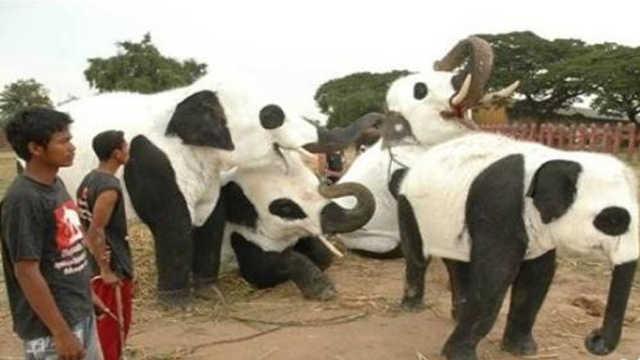 泰国羡慕中国竟将大象装扮成熊猫!