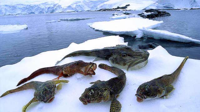 南极的鱼为什么不会被冻死?