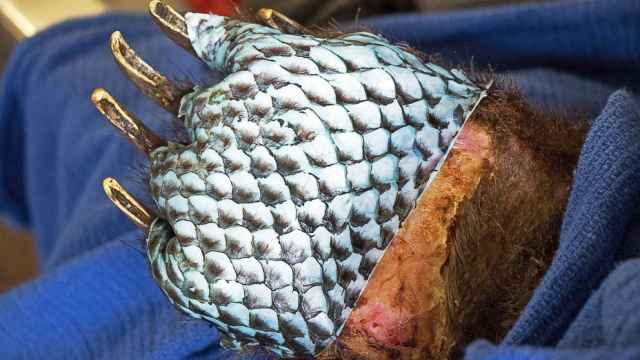 美国用鱼皮治烧伤熊爪,初见成效
