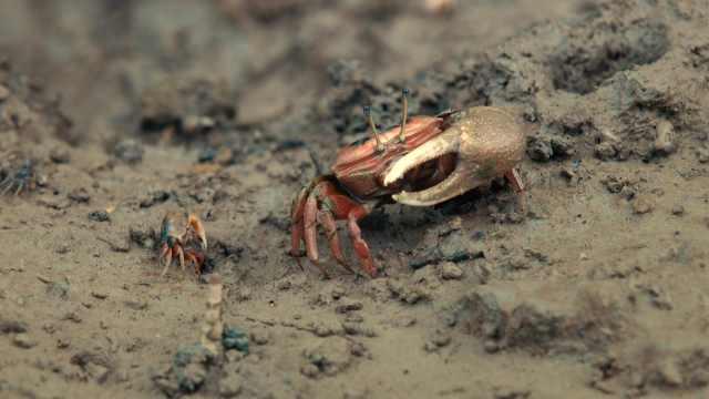 海岸边的流浪:独臂大侠螃蟹