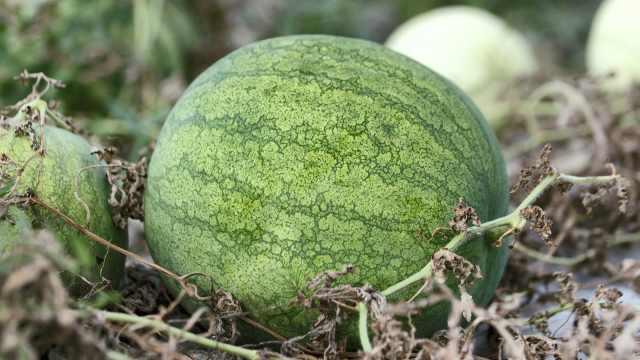 旱地上的斗争:地里的蓄水天才籽瓜