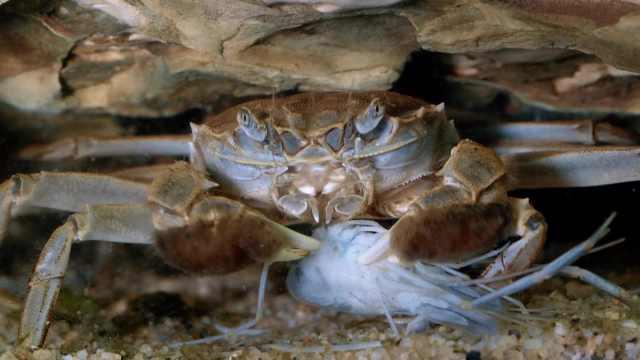 江湖里的追逐:海底将军大闸蟹