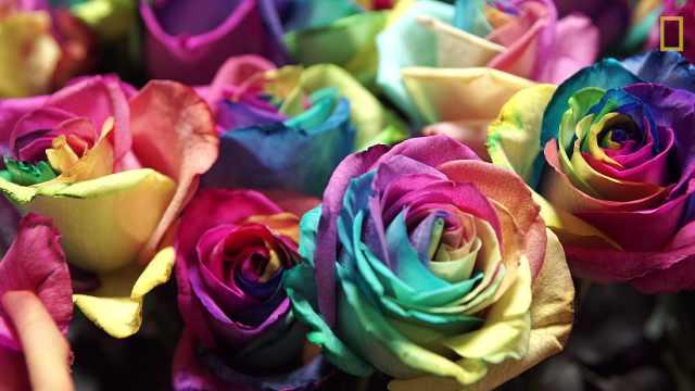 你今天买的玫瑰有可能是这样产生的