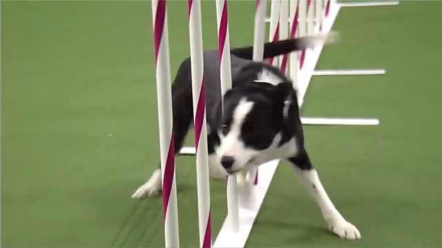 打破记录的狗狗,用速度证明实力!