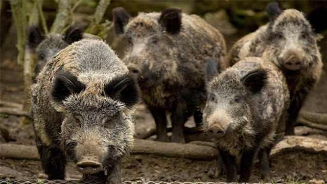 野猪泛滥,中国的处理方式更好!