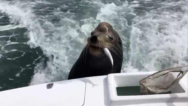 吃货海狮为讨吃的,趴渔船上不走了