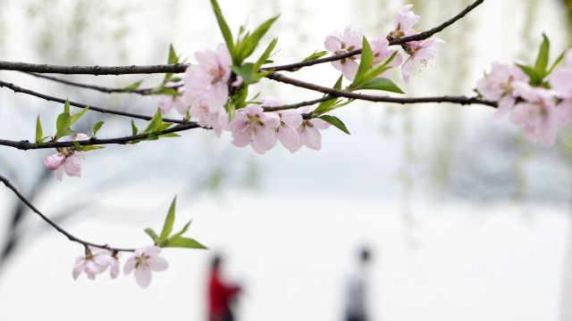 春风暖杭州 西湖桃花开