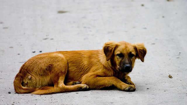 中华田园犬为啥被人嫌弃?