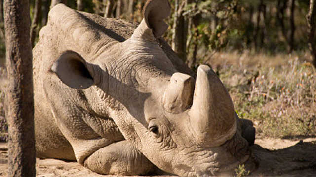 世界上最后一头雄性北方白犀牛死亡
