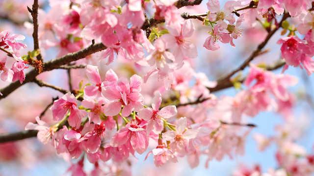 赏樱何必去日本?广州樱花更烂漫