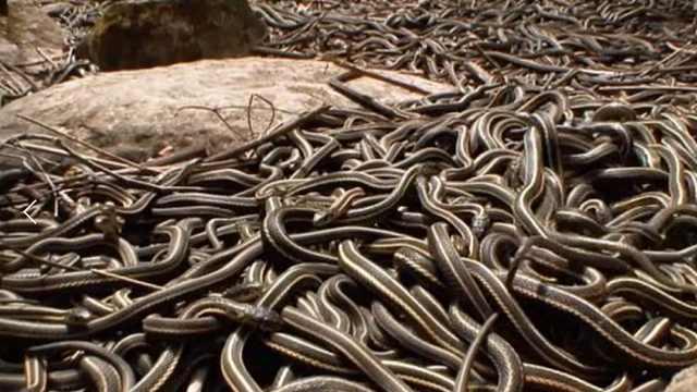 浙江这个村庄为什么有上百万条蛇?