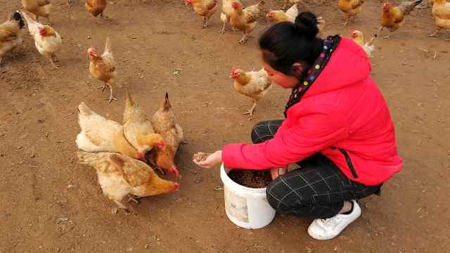 她辞职养蛆虫开鸡场,徒手抓蛆喂鸡