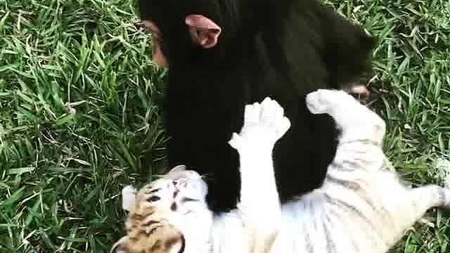 猴子被老虎环抱撒娇,回应摸头杀
