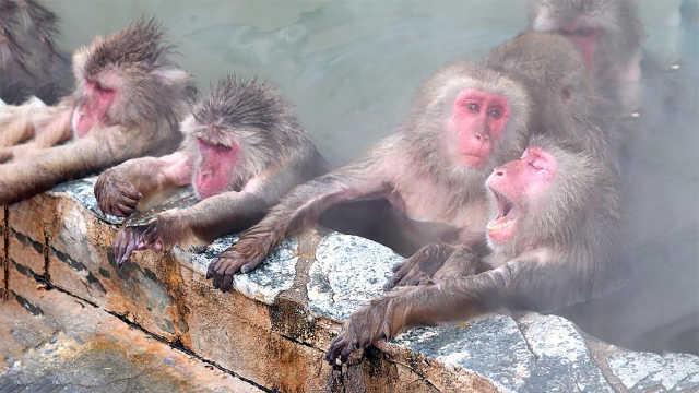世界上唯一一个供猴子们泡的温泉