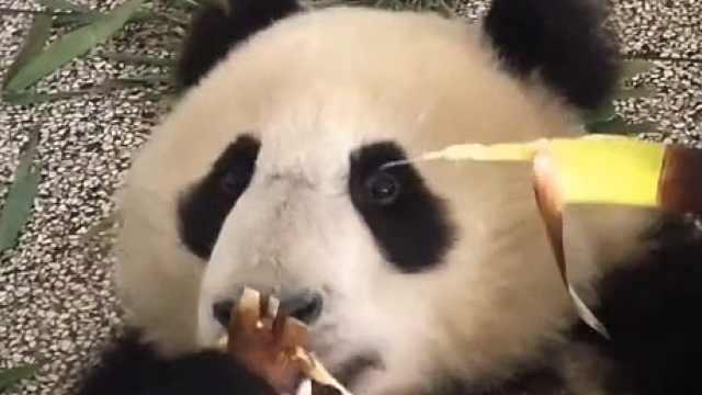 坐着啃还能躺着啃!熊猫吃播来啦