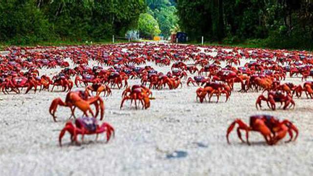千万红蟹遭蚂蚁群残杀