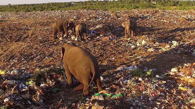 心酸!大象在垃圾堆中找食物