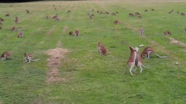 奇观!无人机拍下草地上成群的袋鼠