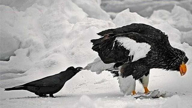 乌黑色来源于这种有三只脚的乌鸦?