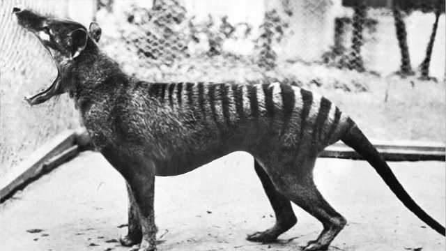 6个灭绝动物的罕见录像!