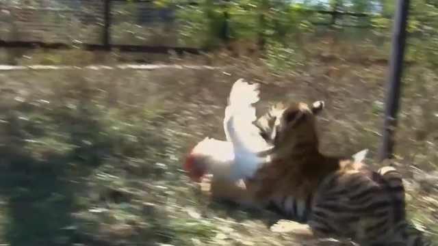 小老虎刚出生就会抓鸡吃