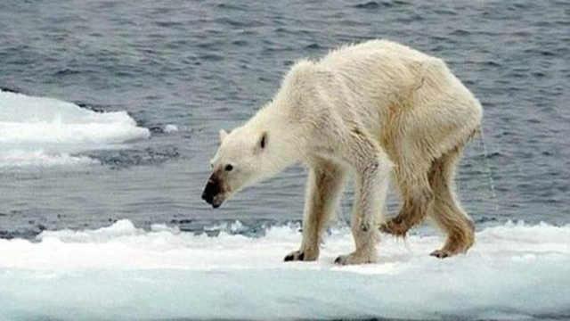 为什么不能给即将饿死的北极熊投食