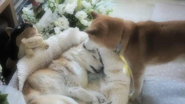 泪目!姐姐去世,狗狗拼命想叫醒她