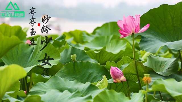 南京玄武湖荷花盛开满眼的诗情画意
