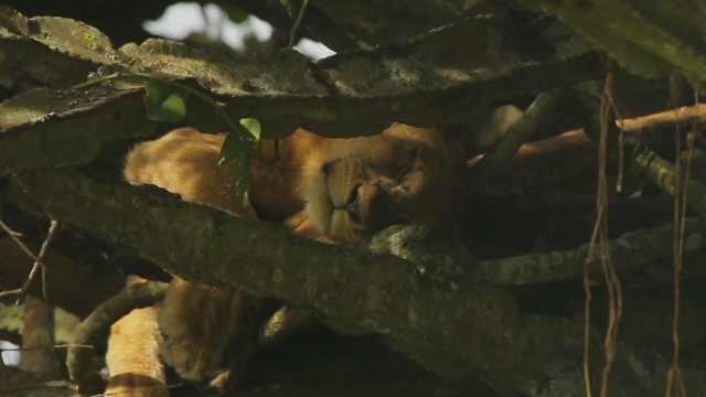爱在树上睡觉的狮子,你见过吗?