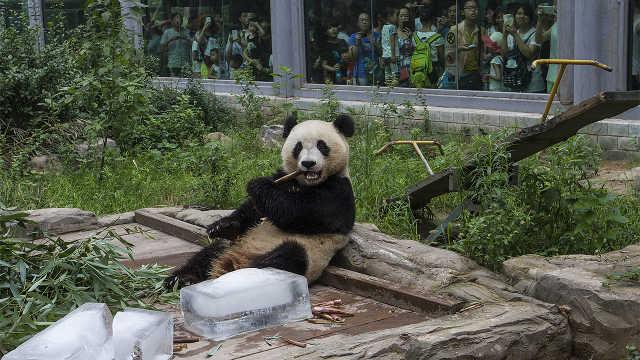 为什么动物园不给熊猫多加几块冰?