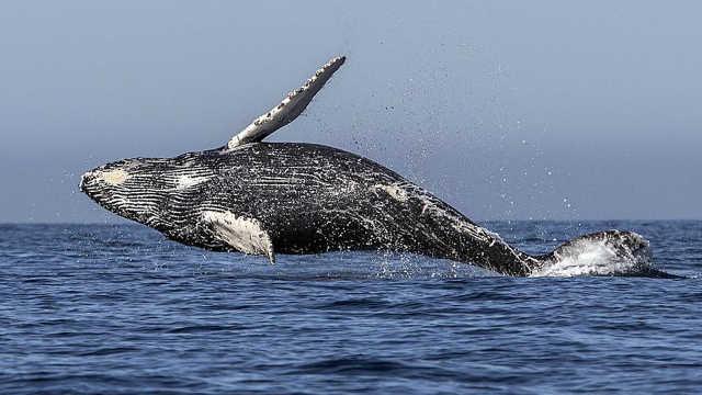 鲸鱼那么大,它的天敌到底是什么?