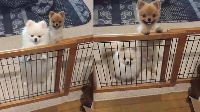 超可爱,两只狗狗撒娇卖萌讨吃的