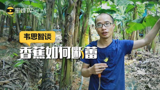 专家有话说:香蕉断蕾做不好要绝收