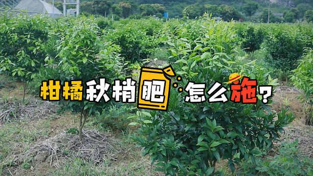 柑橘秋梢施肥的正确姿势,亲测好用