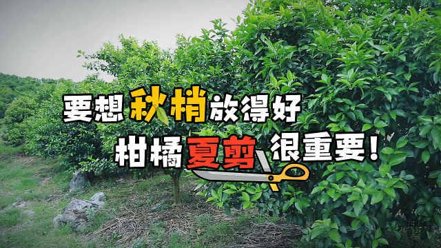 柑橘夏剪这样剪,来年想不高产都难