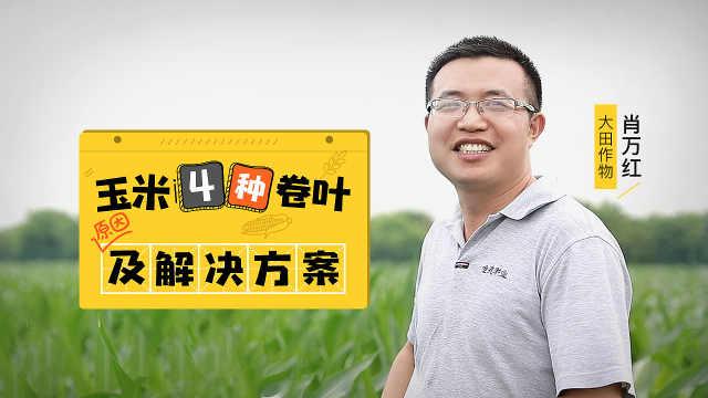 玉米卷叶仅因高温干旱?农户小心了