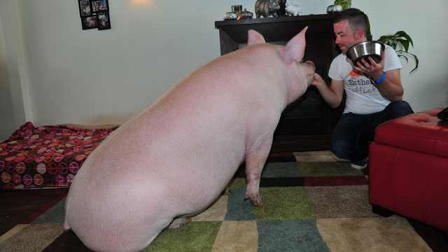 夫妻养宠物猪,没想到长成300公斤