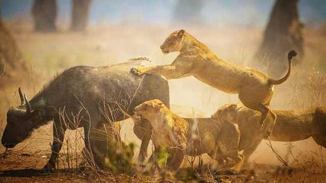 为什么强壮的野牛不反抗狮子?