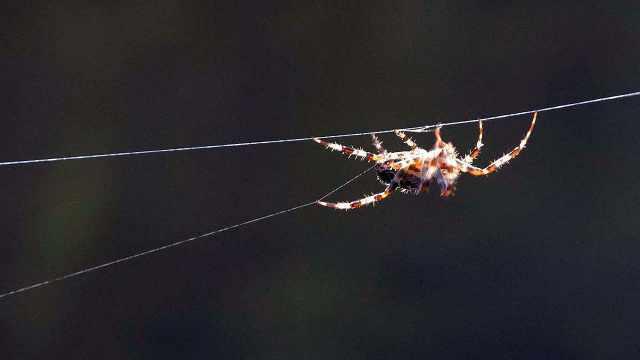蜘蛛是如何吐丝结网的?