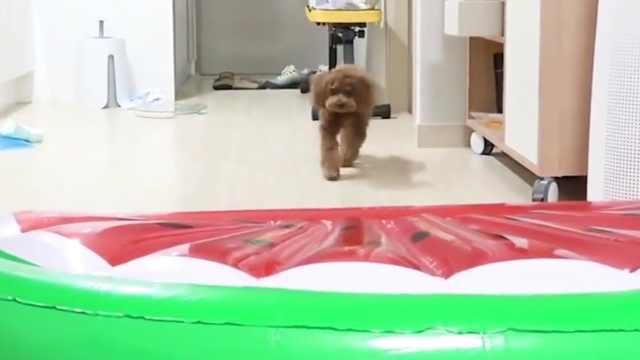 面对巨型西瓜,狗狗表示一点也不怕