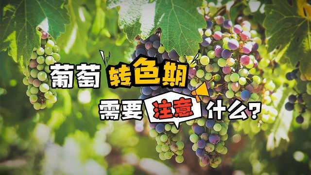 葡萄转色期的注意事项