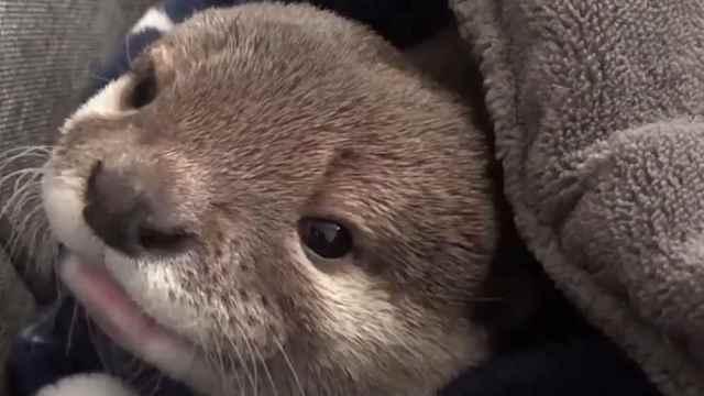 海狮宝宝犯困,打哈欠声音萌爆啦