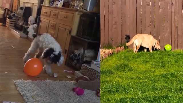 太蠢萌!看宠物如何稀里糊涂玩气球