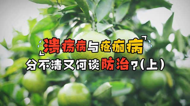 柑橘溃疡病与疮痂病,傻傻分不清?