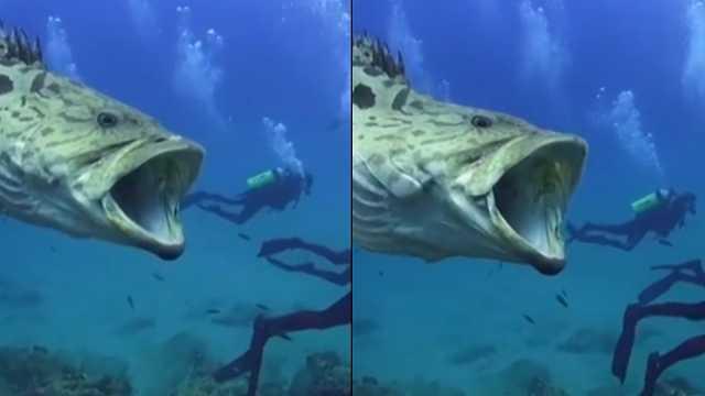胆子太大!潜伏者和巨型鱼类同游