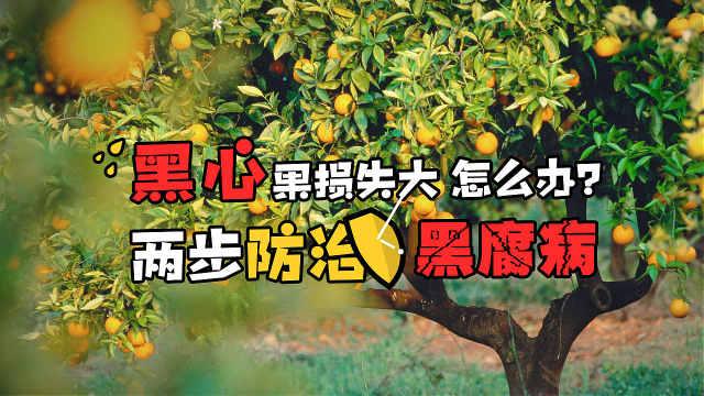 """柑橘""""黑心""""损失大,怎么办?"""